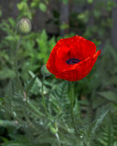 Flor roja de la amapola en el jardín Imagen de archivo libre de regalías