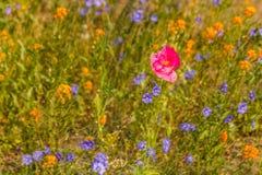 Flor roja de la amapola en el jardín imagenes de archivo