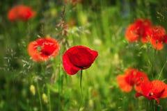 Flor roja de la amapola en hierba Fotos de archivo