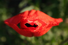 Flor roja de la amapola en la dimensión de una variable de labios imágenes de archivo libres de regalías