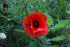 Flor roja de la amapola en la opinión superior de la hierba Fotografía de archivo libre de regalías