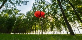 flor roja de la amapola en un bosque del árbol de álamo Imagen de archivo libre de regalías