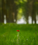 flor roja de la amapola en un bosque del árbol de álamo Foto de archivo