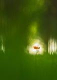 flor roja de la amapola en un bosque del árbol de álamo Imagenes de archivo