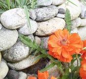 Flor roja de la amapola sobre una pared de piedra, Imagen de archivo
