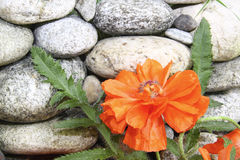 Flor roja de la amapola sobre una pared de piedra, Imagen de archivo libre de regalías