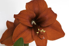 Flor roja de la amarilis Foto de archivo