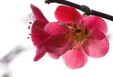 Flor roja de la begonia Imagen de archivo