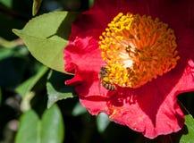Flor roja de la camelia con una abeja Foto de archivo libre de regalías