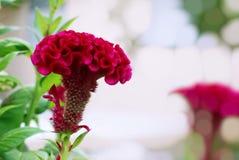 Flor roja de la cresta de gallo, flor china de las lanas, con las hojas verdes imagenes de archivo