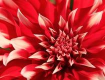 Flor roja de la dalia fotografía de archivo