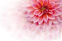 Flor roja de la dalia Fotos de archivo libres de regalías