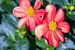 Flor roja de la dalia Foto de archivo