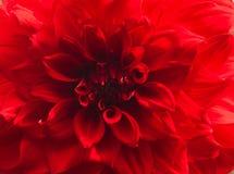 Flor roja de la dalia imágenes de archivo libres de regalías