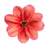 Flor roja de la dalia aislada en el fondo blanco Fotografía de archivo libre de regalías