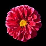 Flor roja de la dalia con el centro amarillo aislado Imagen de archivo libre de regalías