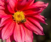 Flor roja de la dalia con el primer de la abeja Imágenes de archivo libres de regalías