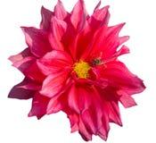 Flor roja de la dalia con el primer de la abeja Fotos de archivo