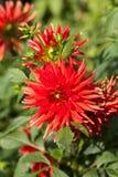 Flor roja de la dalia en jardín Fotografía de archivo