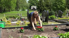 Flor roja de la dalia de la planta de la mujer pequeña en sepulcro del marido 4K almacen de metraje de vídeo