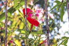 Flor roja de la enredadera Imagen de archivo libre de regalías
