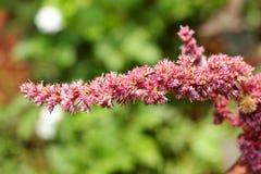 Flor roja de la espinaca en la luz del sol, imagen del foco selectivo, Foto de archivo libre de regalías