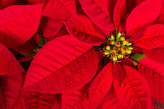 Flor roja de la estrella de la poinsetia o de la Navidad Imágenes de archivo libres de regalías
