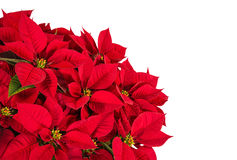 Flor roja de la estrella de la poinsetia o de la Navidad Fotos de archivo