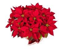Flor roja de la estrella de la poinsetia o de la Navidad Fotos de archivo libres de regalías