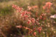 Flor roja de la hierba Fotografía de archivo libre de regalías