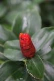 Flor roja de la huerta con la hormiga Foto de archivo