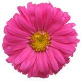 Flor roja de la margarita Fotos de archivo libres de regalías