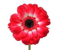 Flor roja de la margarita Imágenes de archivo libres de regalías