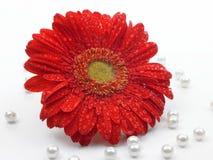 Flor roja de la margarita Imagenes de archivo
