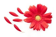 Flor roja de la margarita con algunos pétalos apagado en blanco Imagen de archivo libre de regalías