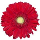 Flor roja de la margarita de Transvaal Fotografía de archivo