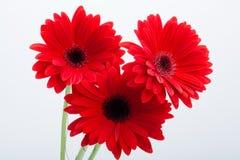 Flor roja de la margarita del Gerbera Fotografía de archivo