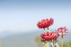 Flor roja de la paja o flor eterna Imagenes de archivo