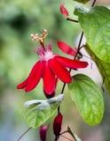 Flor roja de la pasión imagenes de archivo