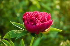 Flor roja de la peonía Fotos de archivo libres de regalías