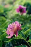 Flor roja de la peonía Imagen de archivo libre de regalías