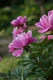 Flor roja de la peonía Imagen de archivo