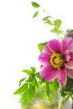 Flor roja de la peonía con las hojas verdes Imagen de archivo libre de regalías
