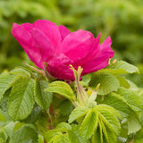 Flor roja de la perro-rosa Fotografía de archivo libre de regalías