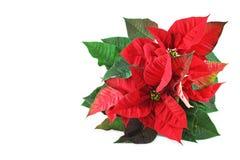 Flor roja de la poinsetia aislada Foto de archivo libre de regalías