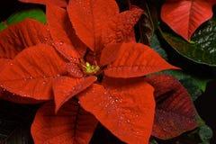 Flor roja de la poinsetia, euforbio Pulcherrima, Nochebuena Foto de archivo