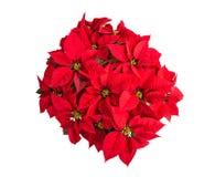 Flor roja de la poinsetia, visión superior, aislada Imágenes de archivo libres de regalías