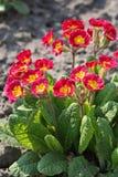 Flor roja de la primavera Imagen de archivo