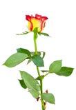 Flor roja de la rosa del amarillo en el fondo blanco Foto de archivo libre de regalías