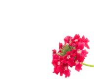 Flor roja de la verbena fotografía de archivo libre de regalías